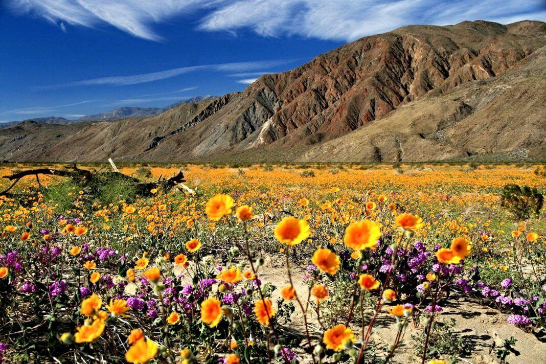 Anza Borrego State Park Wildflowers