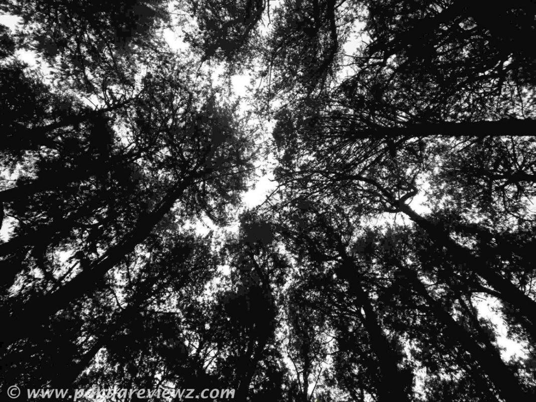 pine forest view kodaikanal
