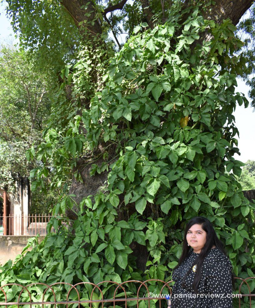 tree in qutub minar