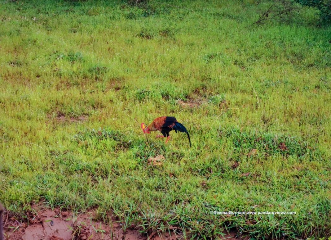 Sri Lankan junglefowl national bird