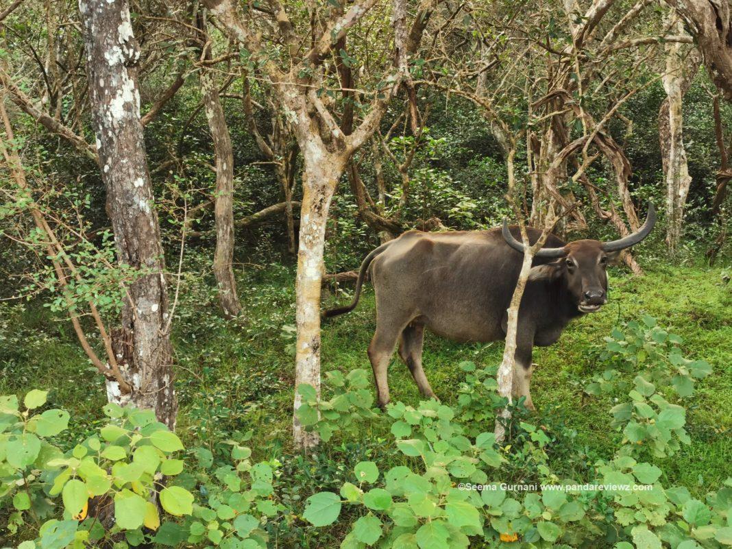 buffalos in wilpattu