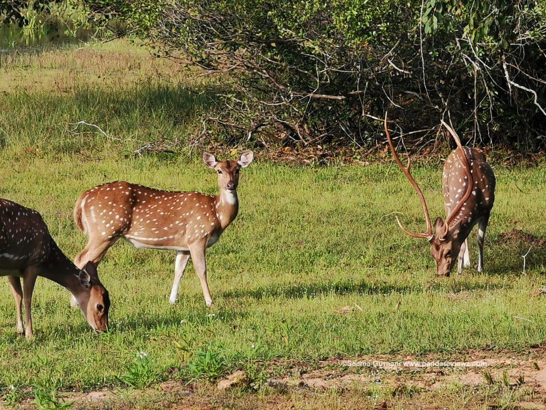 deer wildlife in safari wilpattu park