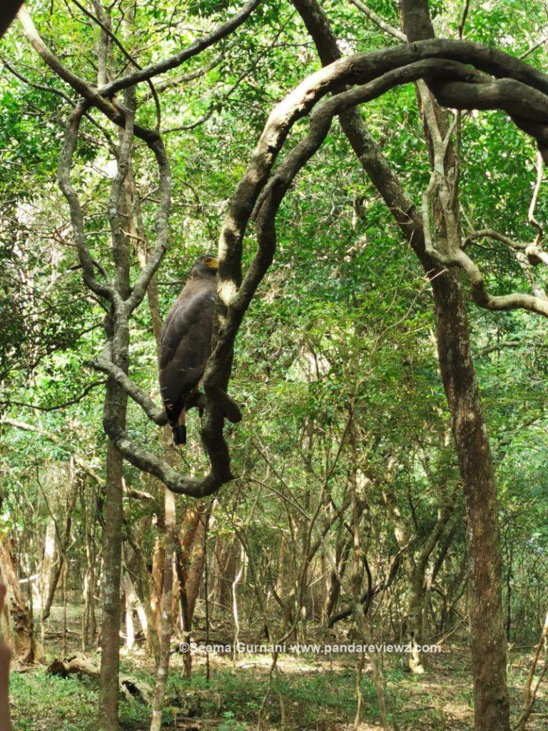 eagle birds in wilpattu national park