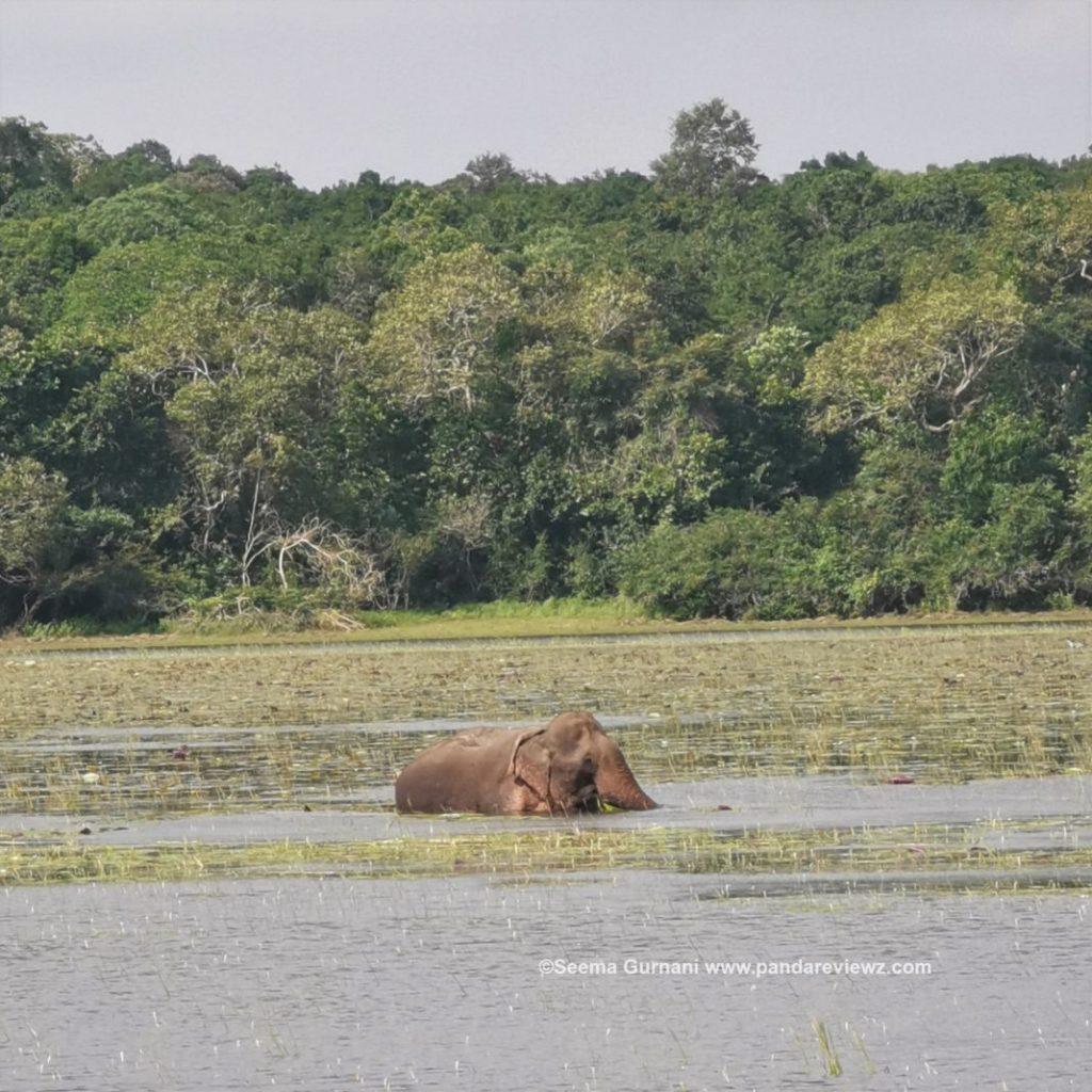 elephant taking bath in srilanka wilpattu national park