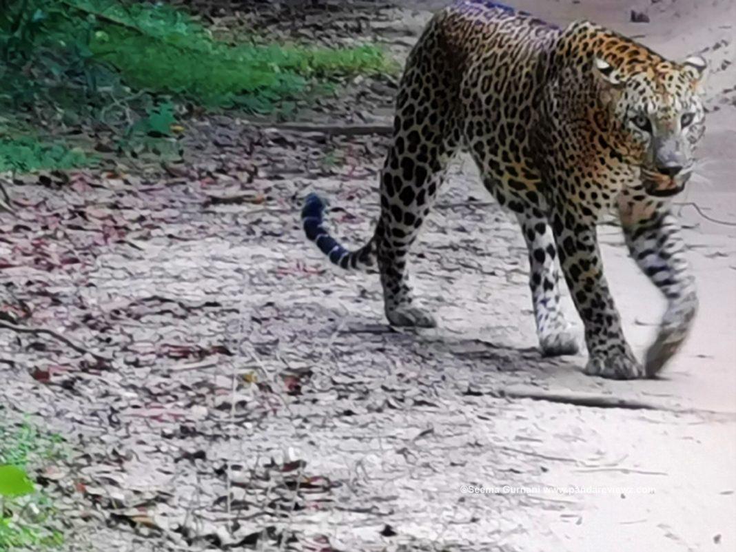 leopard in srilanka